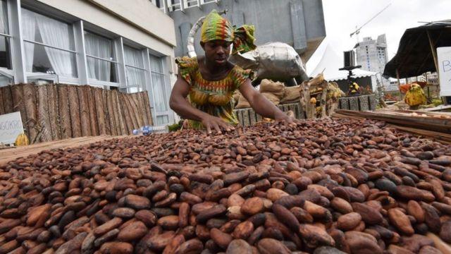 سيدة تعمل في جمع محصول الكاكاو