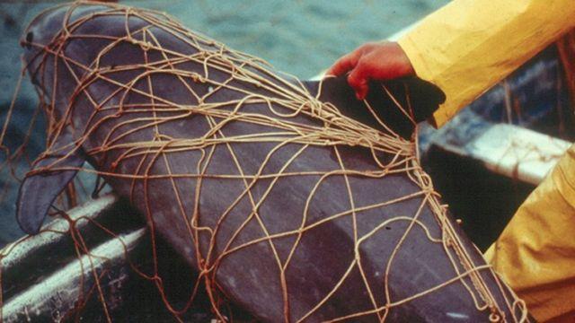 Калифорнийская морская свинья, запутавшаяся в сети для тотоабы