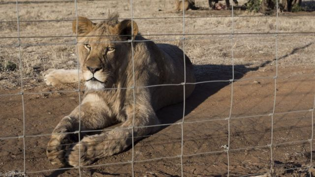 Lion on a farm in South Africa