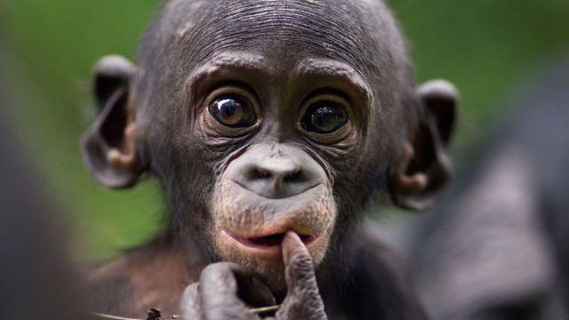 Маленькі бонобо (Pan paniscus)