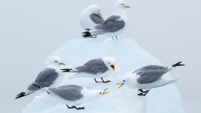 Gaivotas-tridáctilas sobre o gelo