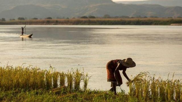 كانت مدغشقر بوتقة لأصناف الأرز، إذ كانت تُزرع فيها أصناف الأرز الأفريقي والآسيوي
