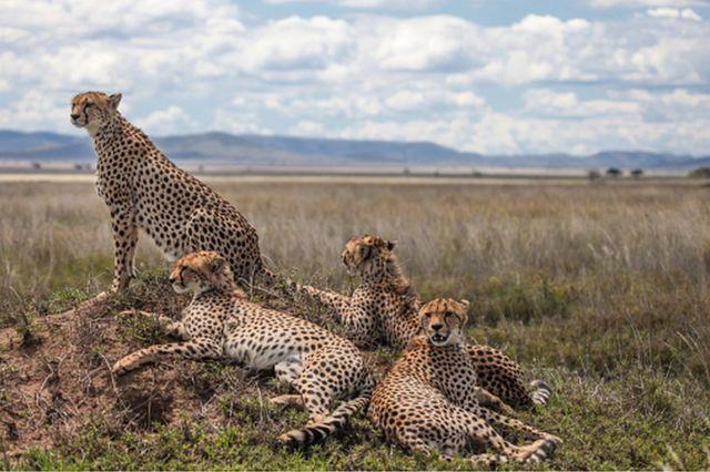 Cheetah's Cheetah Group
