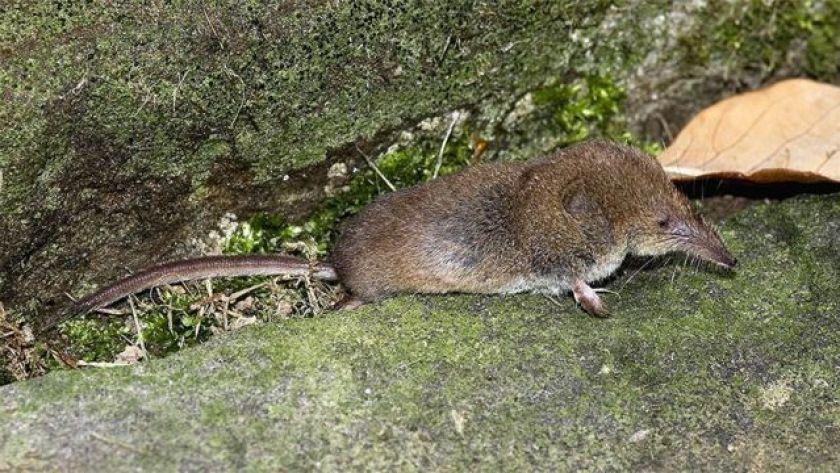 a masked shrew