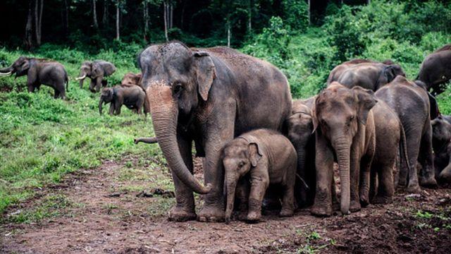 Азійські слони - найближчі з живих родичів мамонтів