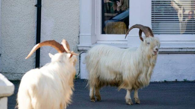Cabras en las calles de Gales.