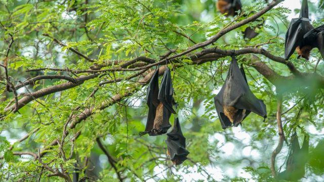 Morcegos empoleirados em galhos de árvores