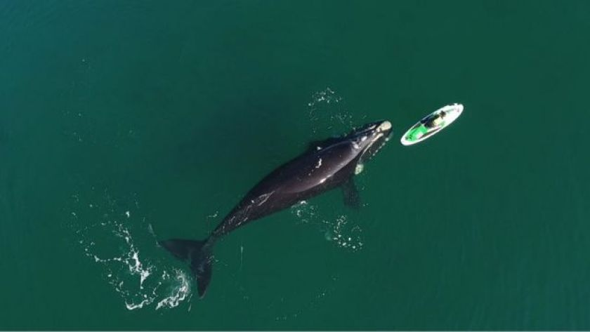 Whale registered next to a bather