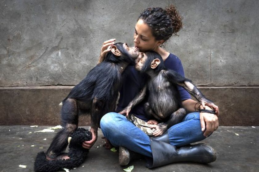 Chimpanzees with guard