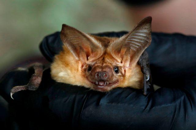 蝙蝠是一种哺乳动物,可以像鸟一样鼓翼飞行,通常昼伏夜出。