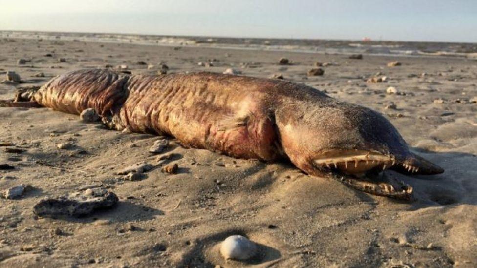 La misteriosa criatura de dientes afilados que encontraron en una playa de Texas tras el huracán Harvey