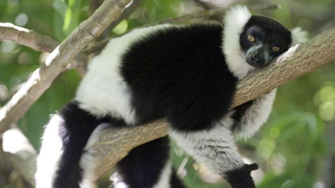 white ruffled lemur