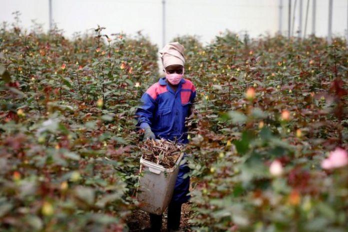 Un ouvrier traverse des rangées de roses dans une serre en portant un équipement de protection