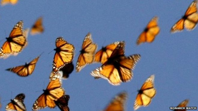 Monarch butterflies (c) Monarch Watch