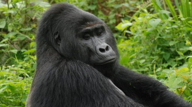 Rafiki, Uganda's rare silverback mountain gorilla, killed by hunters