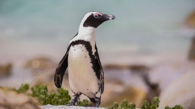 An African penguin on a beach in South Africa