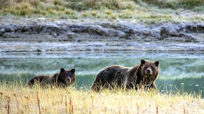 File picture of grizzly bears