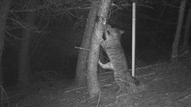 Scottish Wildcat sighting