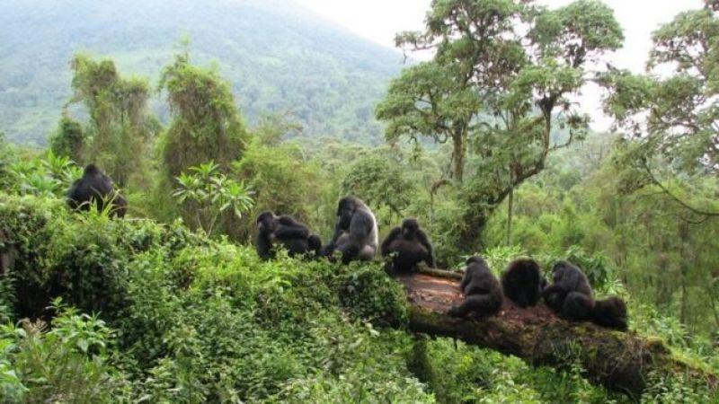 Gorilas em parque nacional na Ruanda