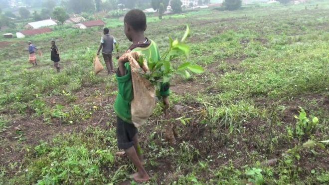 tea plantation young pickers