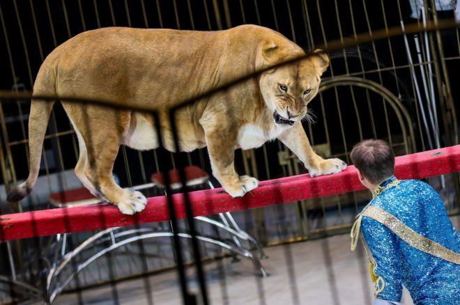 Animal handler Vitaly Smolyanetsk performs with the State Circus of Vladivostok on 16 December.