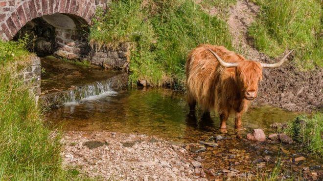 Highland Cattle in a river, Brushford Somerset