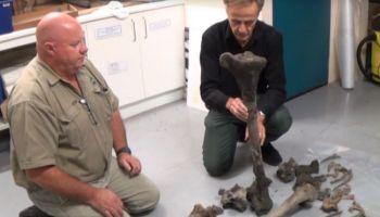bones of giant moa bird found