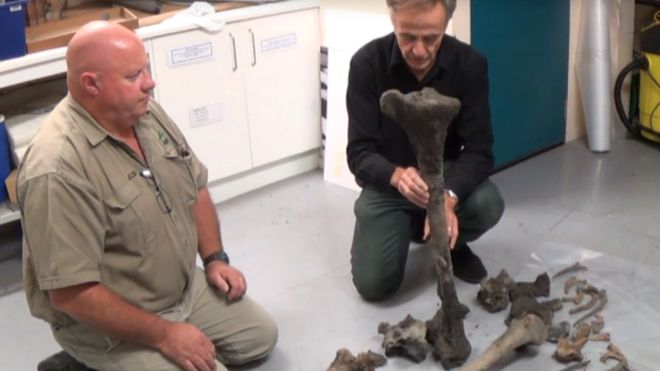 bones of giant moa bird found
