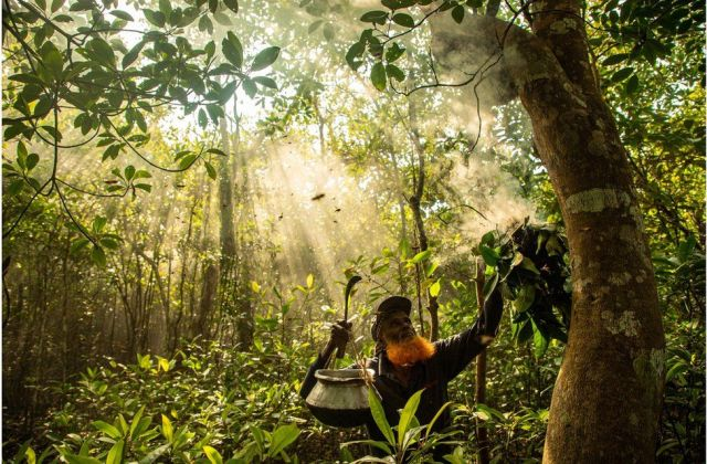A wild honey gatherer subdues giant honeybees by smoke, deep in a mangrove forest in Bangladesh