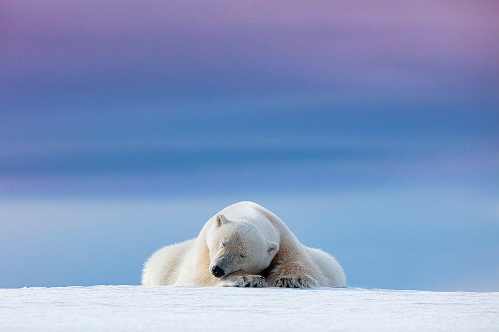A polar bear sleeps on the ice