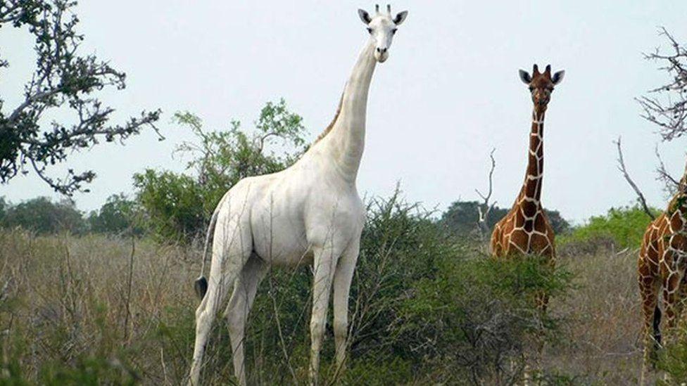 Petition: Rare White Giraffe Gets Tracker After Poachers Kill His Family