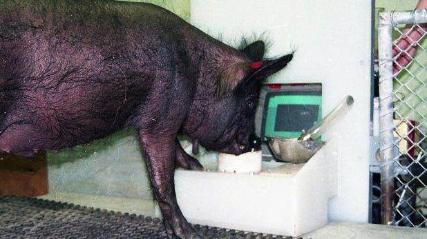 Cerdo de ébano