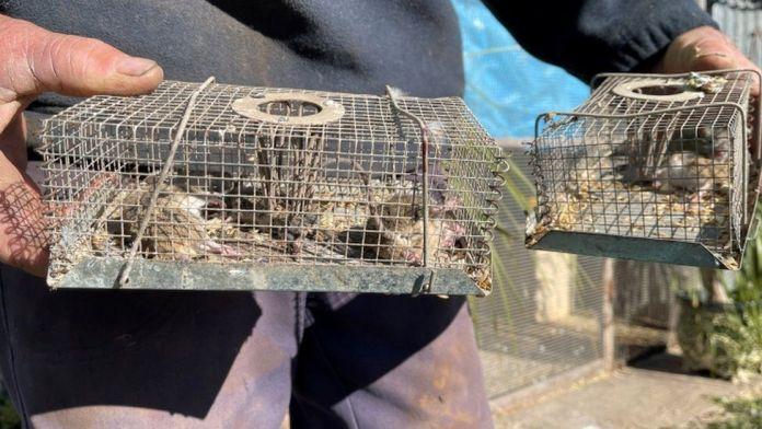 Grain farmer Norman Moeris disposes of mice caught in traps