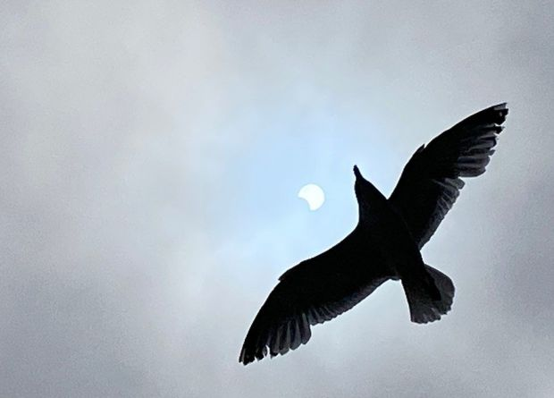 Bird and eclipse at Romney Sands