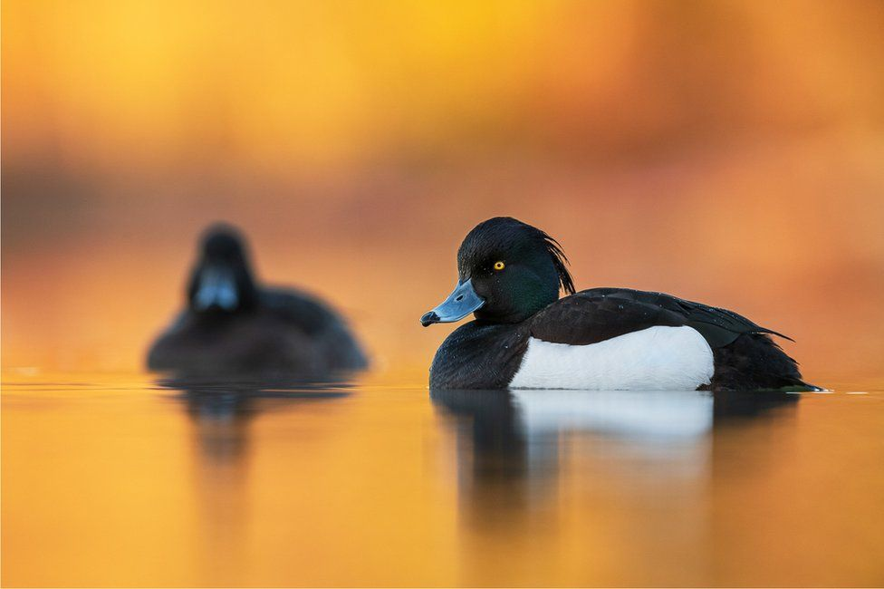 Two tufted ducks sit on water with an orange sky behind them