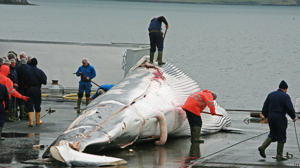 A fin whale caught by an Icelandic whaler