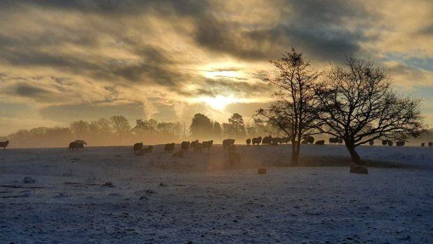 Sheep in a snowy field in Pontarddulais, Swansea