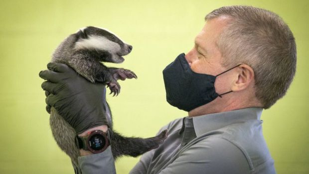 Scottish Liberal Democrat leader Willie Rennie handles a six-week-old badger during a visit to the SSPCA National Wildlife Rescue Centre at Fishcross near Alloa, during campaigning for the Scottish Parliamentary election. Picture date: Saturday April 3, 2021.