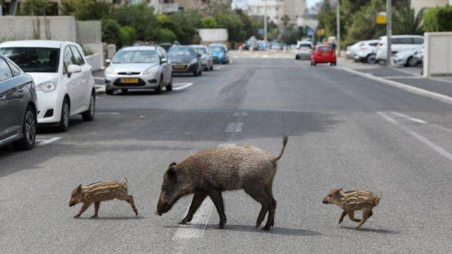 Wild Boars in Israel - Pandemic