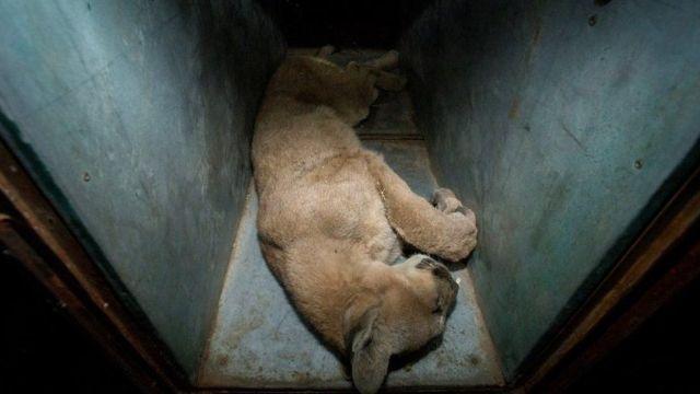Cougars in Santiago - Pandemic
