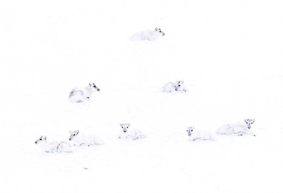 Renos blancos del Ártico en la nieve