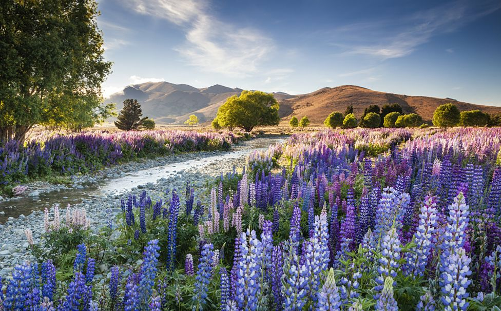 Tekapo Lupins - Richard Bloom / www.igpoty.com