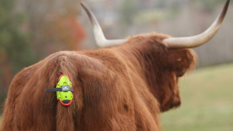 A cow fitted with a Moocall sensor