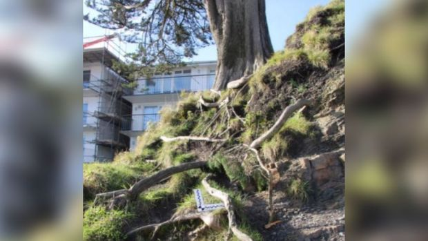 Exposed roots on the Monterey Cypress tree