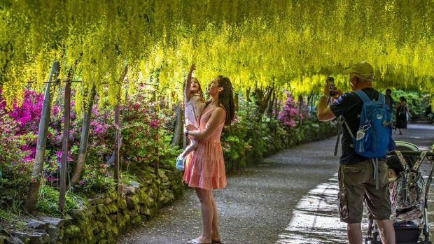 The golden laburnum arch at the National Trust's Bodnant Garden, near Tal-y-Cafn, Conwy, which has reopened to visitors following the easing of lockdown restrictions