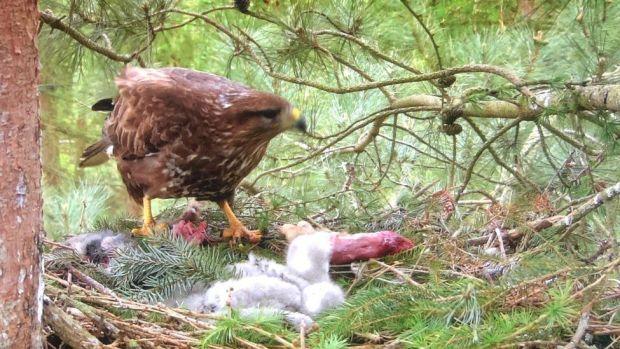 A buzzard feeding chicks
