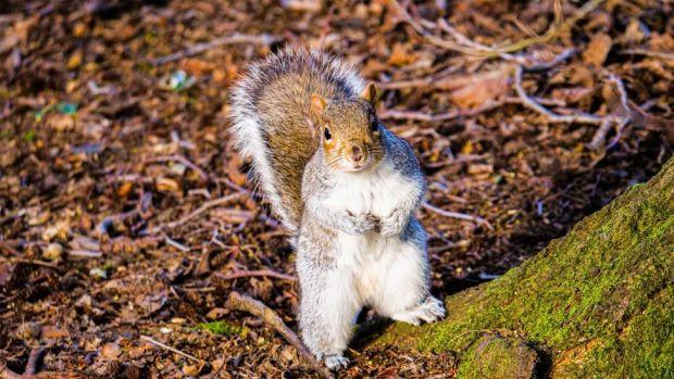 Edinburgh squirrel
