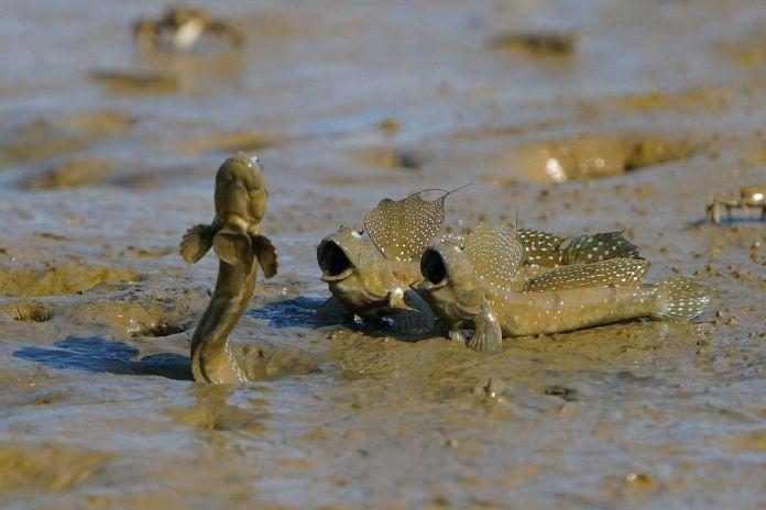 Three mudskippers are seen in mud in Taiwan