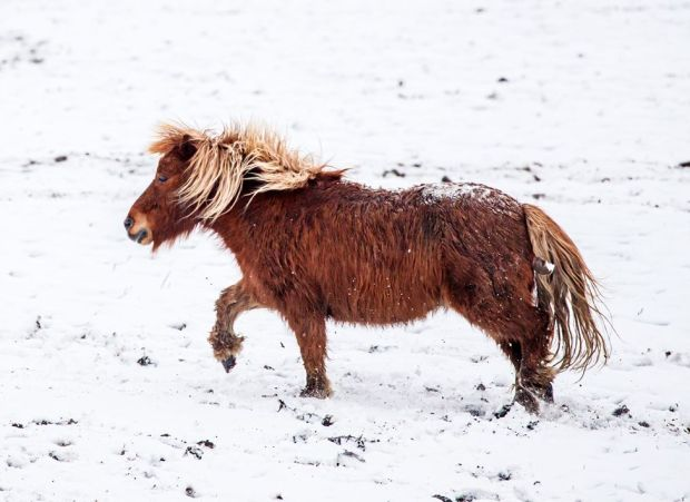A pony plays in the snow near Millhouse Green in South Yorkshire, on 7 February 2021