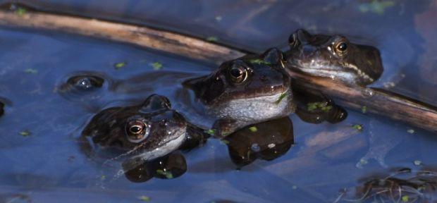 Frog chorus